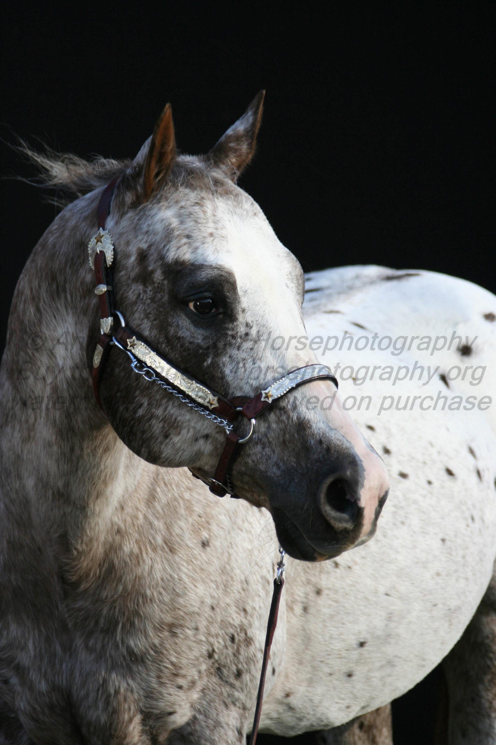 Portrait Of Appaloosa Horse Goers Design Horsephotography
